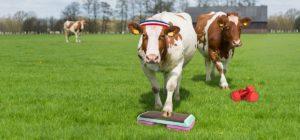 NY cows 40116